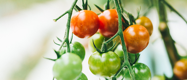 梅田さんのミニトマト